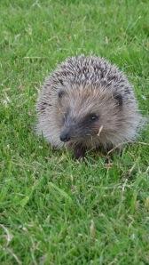 baby hedgehog 2